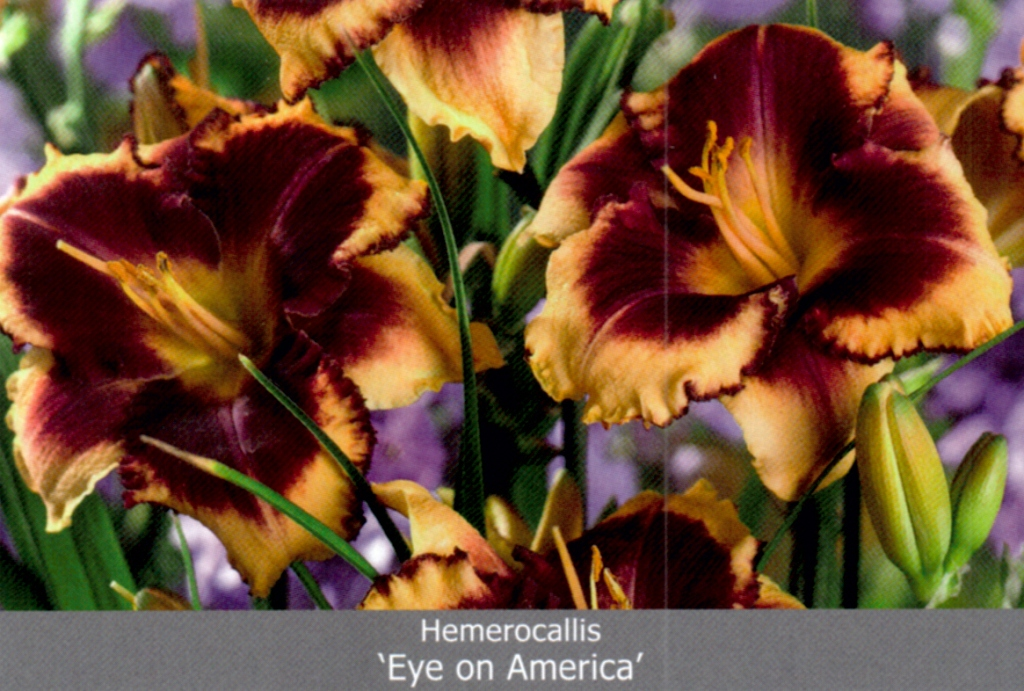 "Лилейник ""Eye on America tetraploid"" № I (1х25шт)"