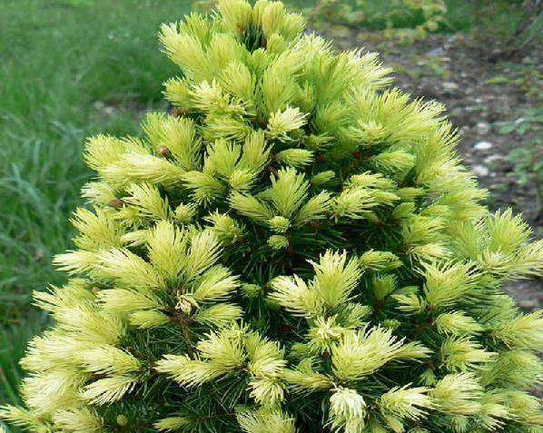 "Ель сизая ""Rainbow's End""/Picea glauca"