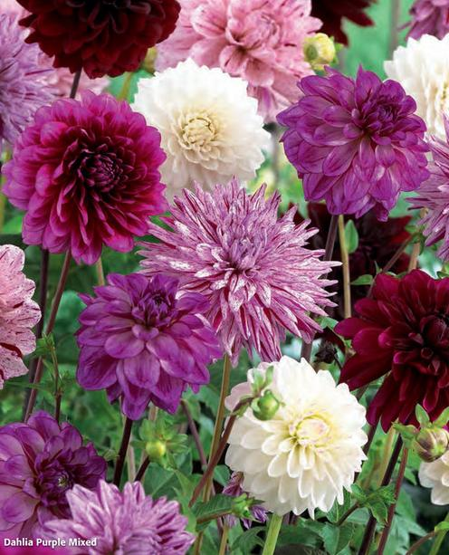"Георгин коллекция ""Dahlia Purple Mixed"" (1х3шт.)12"