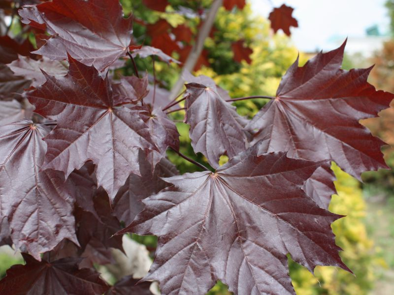 "Клен остролистный ""Royal Red""/ Acer platanoides"