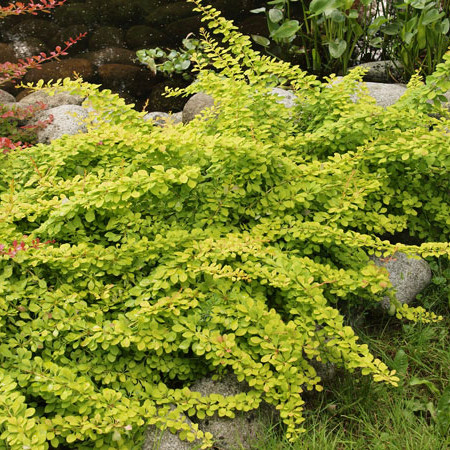 "Барбарис Тунберга ""Golden Carpet""/ Berberis thunbergii"
