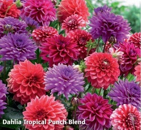 "Георгин коллекция ""Tropical Punch Blend"" (1х3шт)12"