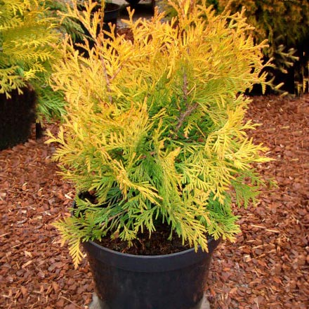 "Туя западная ""Yellow Ribbon""/Thuja occidentalis"