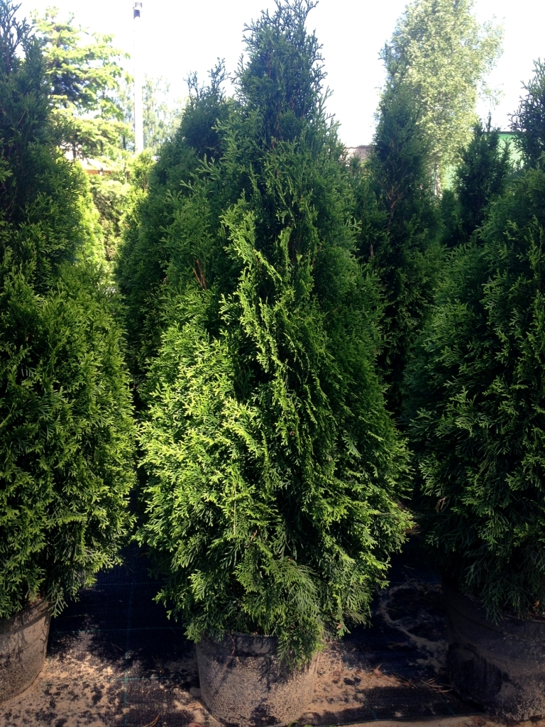 "Туя западная ""Smaragd""/Thuja occidentalis"