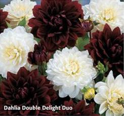 "Георгин коллекция ""Double Delight Duo"" (1х2шт.)18"