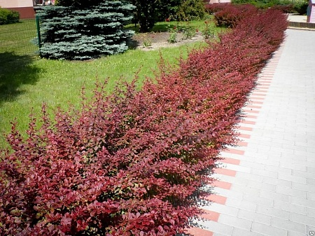 "Барбарис Тунберга ""Ред Карпет""/ Berberis thunbergii 'Red Carpet'"